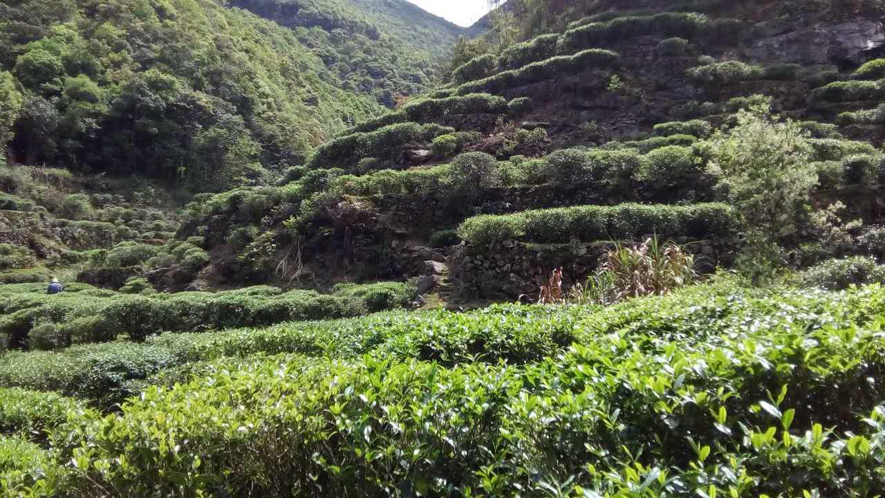 春茶之韵:丰顺县洋西坑坑尾高山茶园