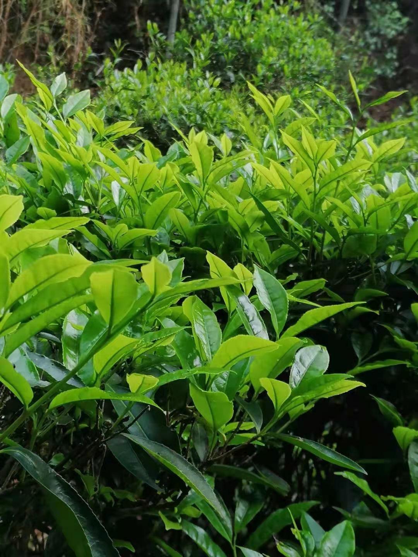 丰顺县:洋西坑2021年春明前单丛茶始开园