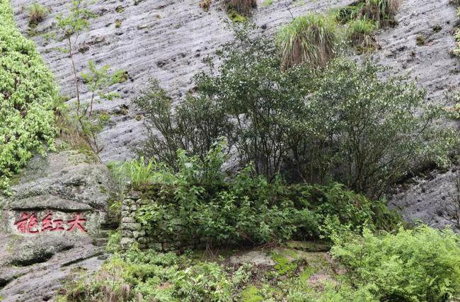 武夷岩茶有上千个品种?但依据武夷岩茶国家标准只有这5大类..
