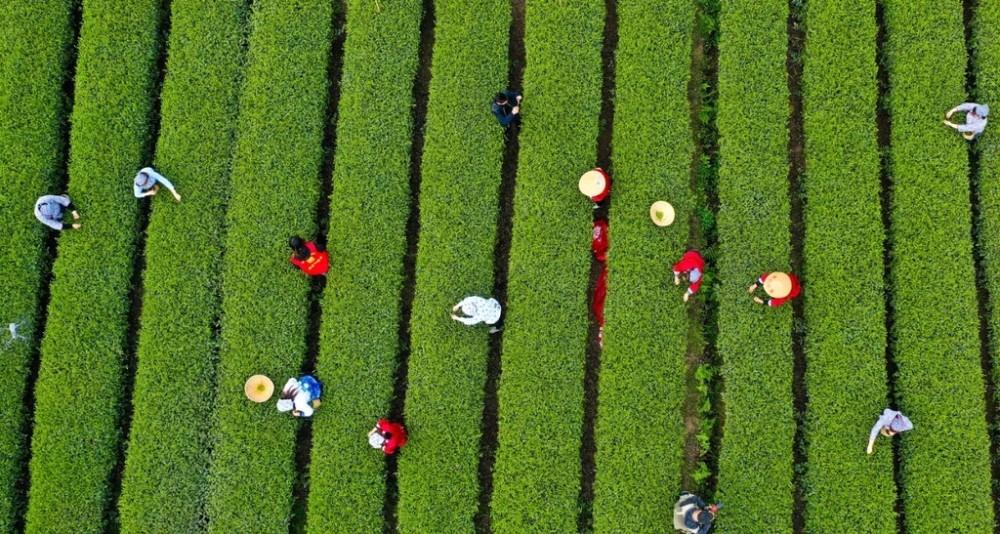 来蒲江体验寻茶之旅 第十一届成都采茶节将于3月18日举行
